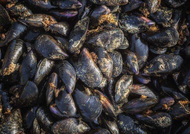 Moules crues fraîches, fraîches de la mer, une ferme de moule sur la côte du sud de l'Albanie photographie stock