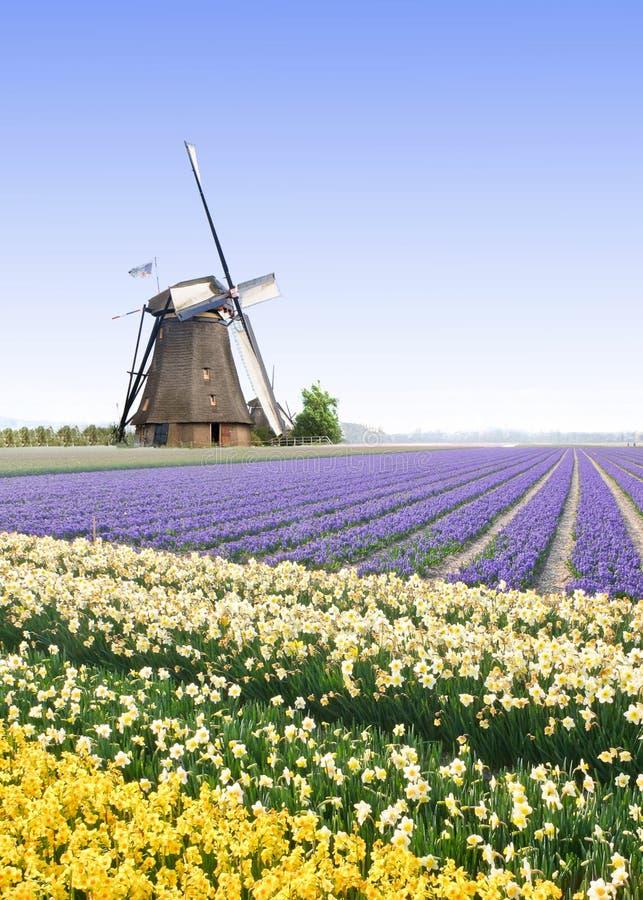 Moulin à vent à la ferme d'ampoule de tulipe photos stock
