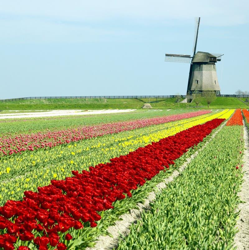 Moulin à vent avec la zone de tulipe photos libres de droits