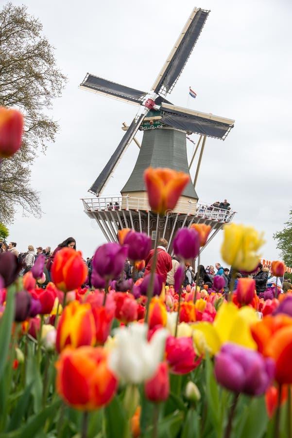 Moulins à vent néerlandais traditionnels avec les tulipes vibrantes, Pays-Bas image libre de droits