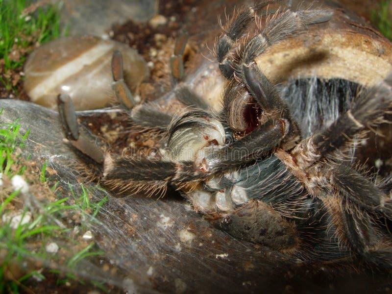 Moulting van de tarantula stock fotografie