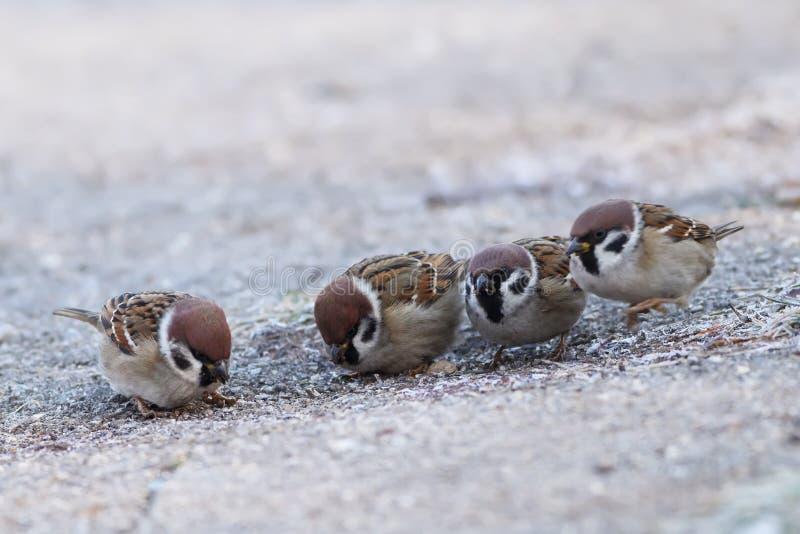 Mounatus del transeúnte de los gorriones, Aves, Passseriformes fotos de archivo