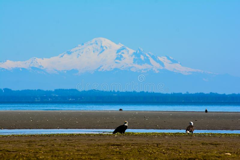 Mount Baker and Eagles. Mount Baker background and Eagles on the beach royalty free stock photos