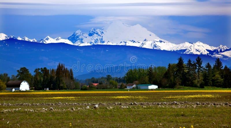 Mount Baker Skagit Yellow Flowers Washington. Mount Baker Skagit Valley Farm Yellow Flowers Snow Mountain Washington State Pacific Northwest stock photo