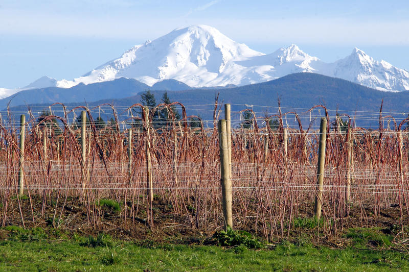 Mount Baker and Winter Raspberry Bushes. Mount Baker in Washington State overlooks raspberry crops during the winter months royalty free stock photos