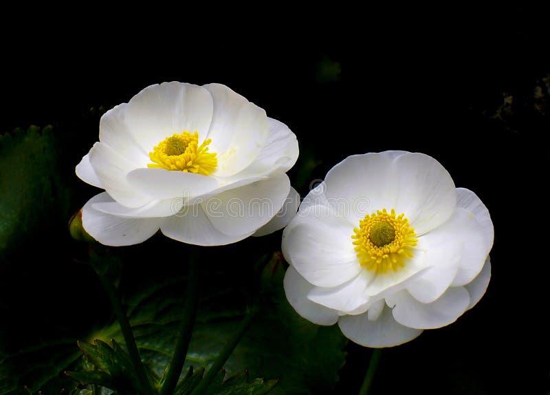 Mount Cook Lilies Free Public Domain Cc0 Image