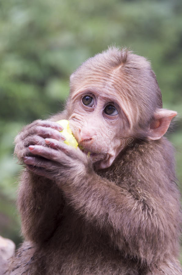 Mount Emei`s wild macaques stock photography
