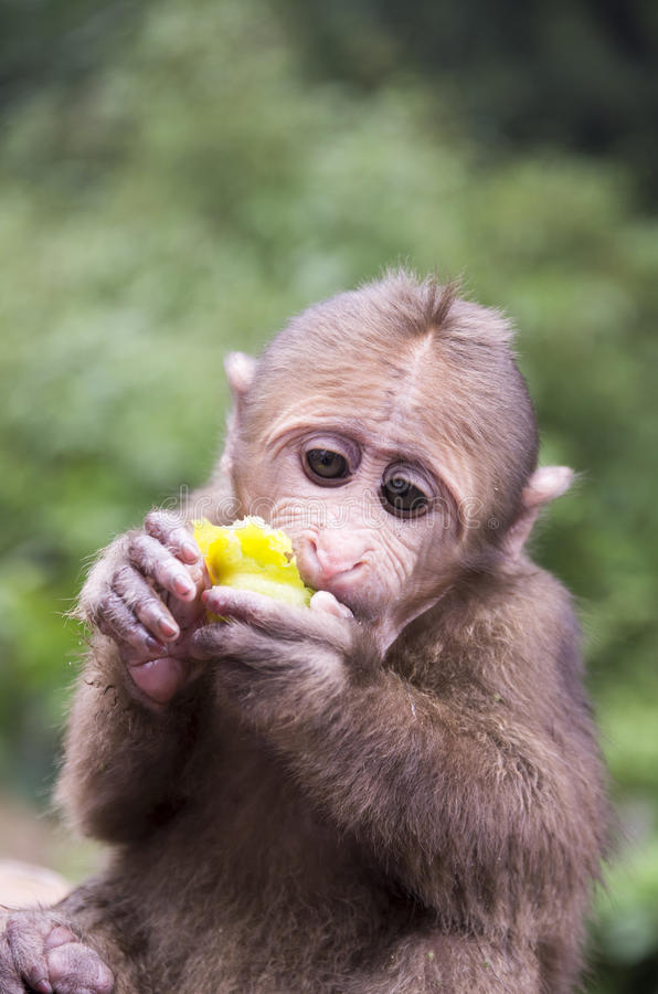 Mount Emei`s wild macaques stock photo