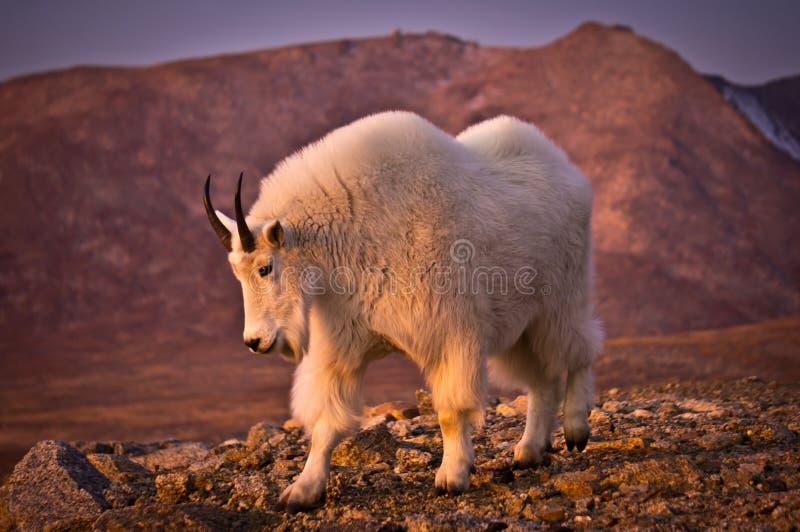Mount Evans Mountain Goat stock photography