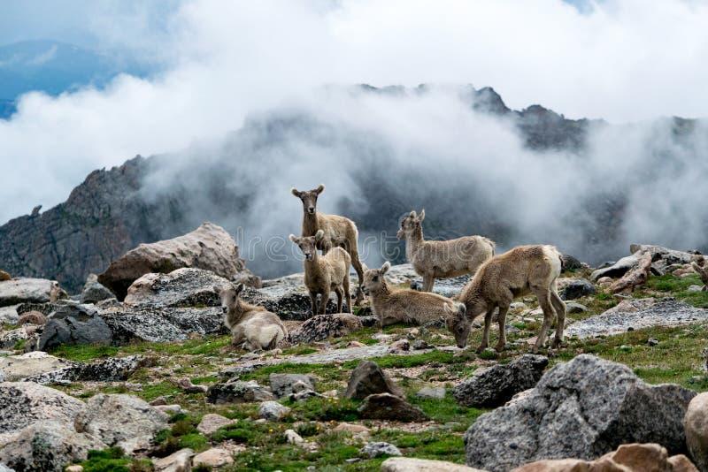 Mount Evans Sheep royalty free stock image