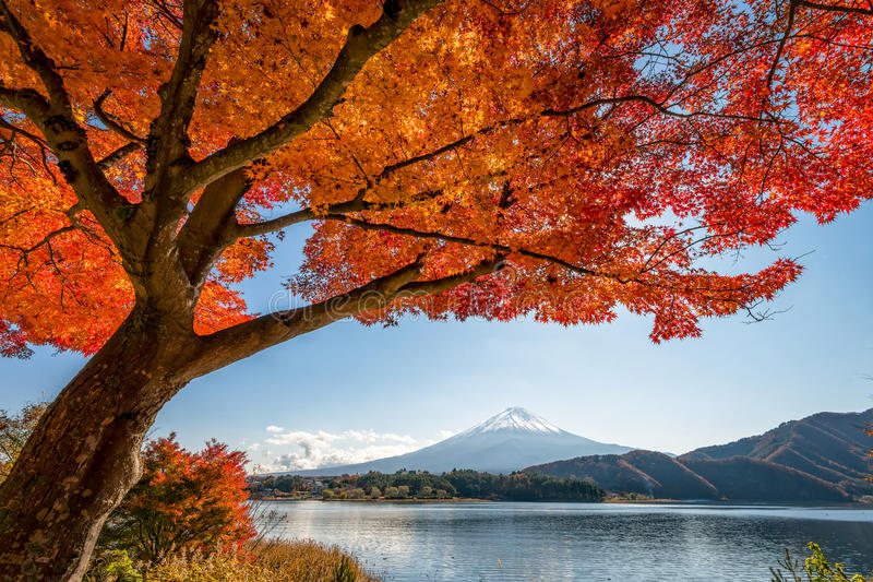 Mount Fuji с деревом клена стоковое фото