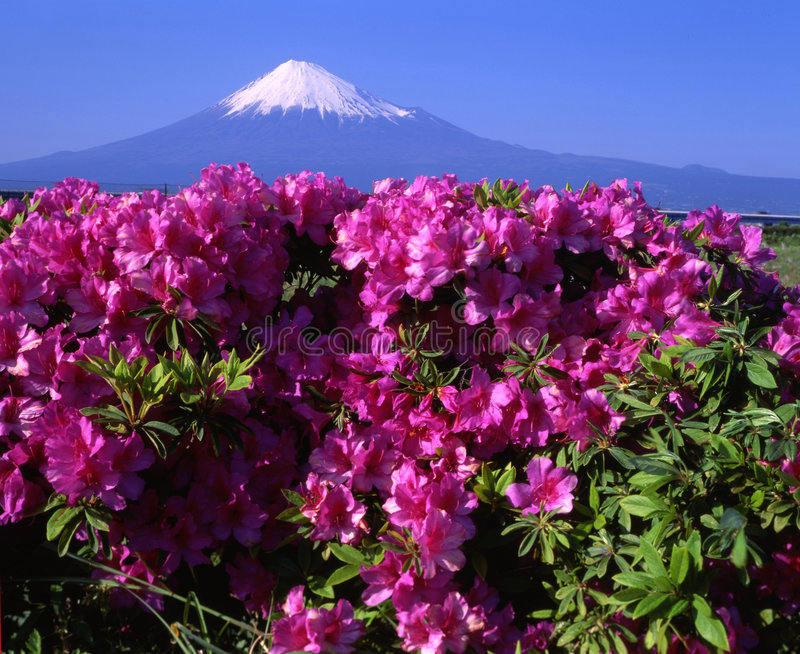 Mount Fuji L. Pink Azaleas with beautiful Mt. Fuji in the background royalty free stock images