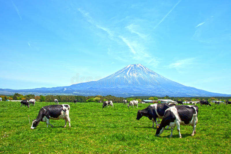 Mount Fuji with cows stock image