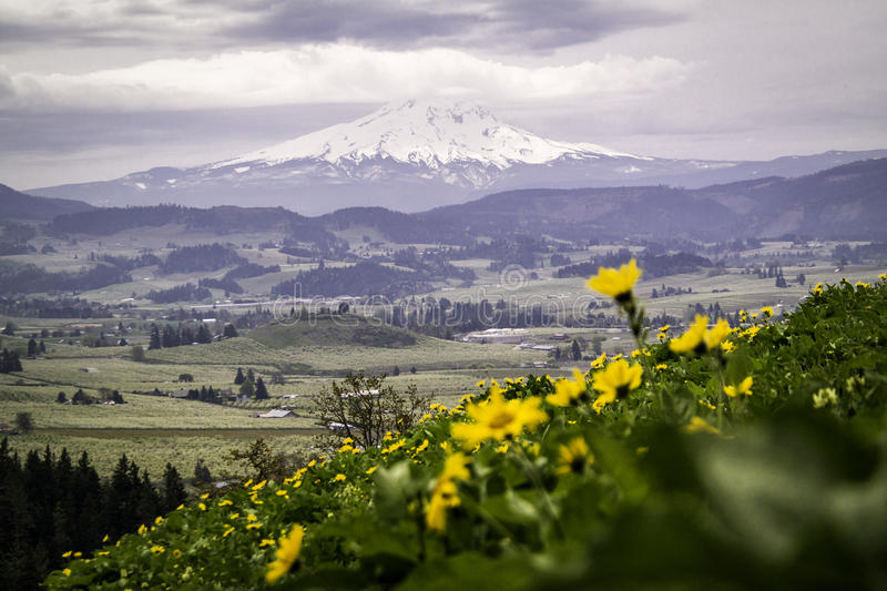 Mount Hood And A Field Of Sunflowers royalty free stock photography