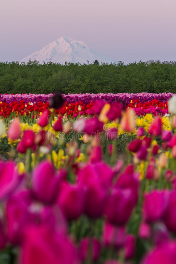 Mount Hood from the tulip farm. View of mount hood from a tulip farm late afternoon with fog and haze royalty free stock photo