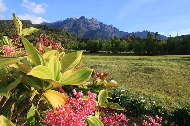 Mount Kinabalu med blomman arkivbild