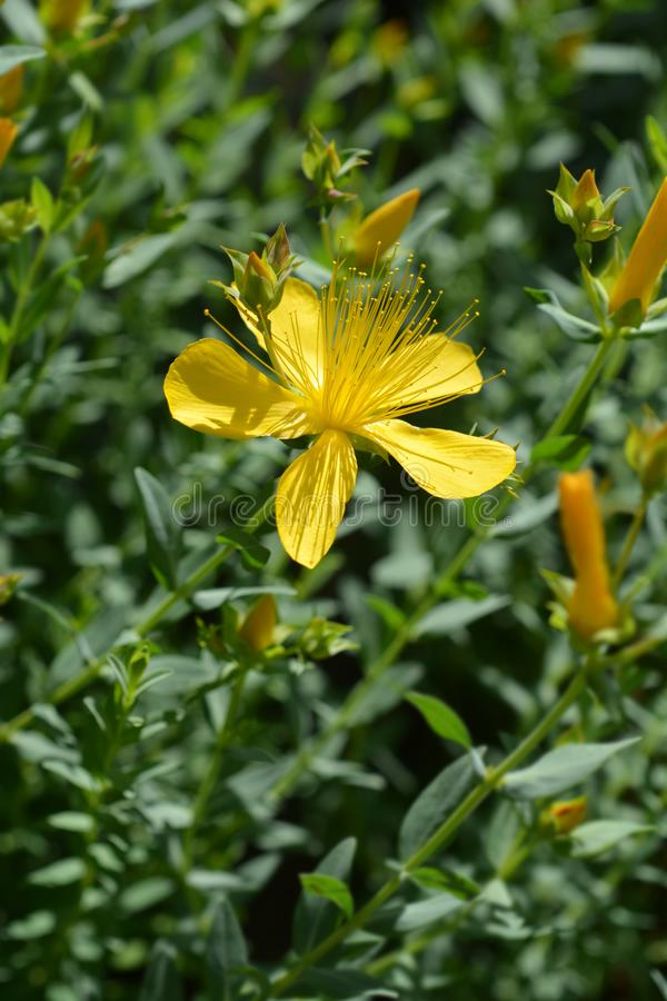 Mount Olympus St Johns-wort. Latin name - Hypericum olympicum stock images
