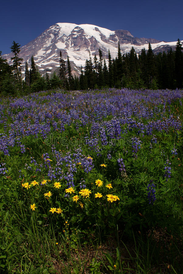Download Mount Rainier at Paradise stock image. Image of trees - 10444159