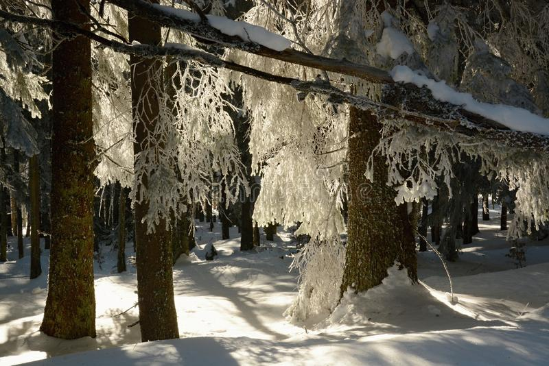 Snowy forest against the sun. Mountain Šumava , winter forest. Trees with snowy branches to the ground. Village of Churaňov, Today together with Zadov is a stock photos