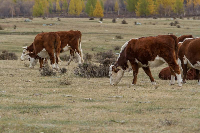 Red cows grazing in a meadow stock photo