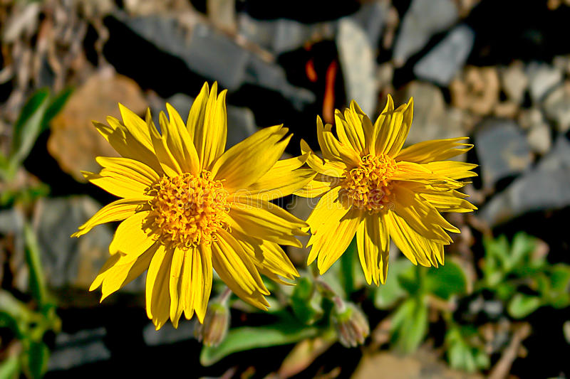 Mountain arnica flowers covered tundra. royalty free stock photography