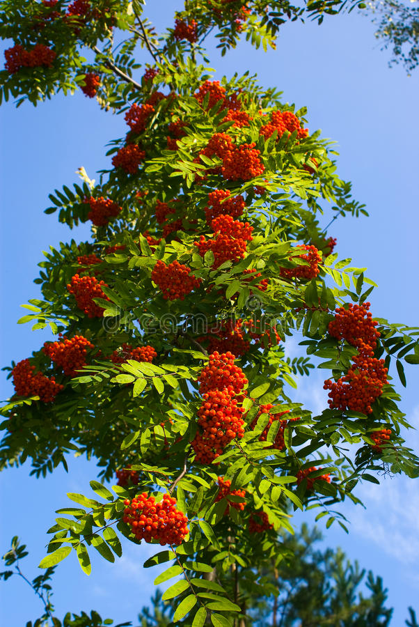 Mountain Ash. Red Mountain Ash on the blue sky royalty free stock images