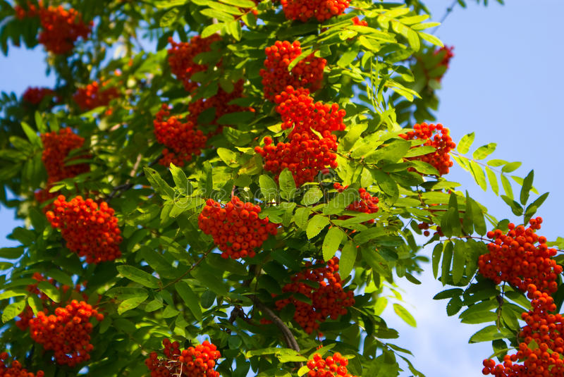 Mountain Ash. Red Mountain Ash on the blue sky royalty free stock image