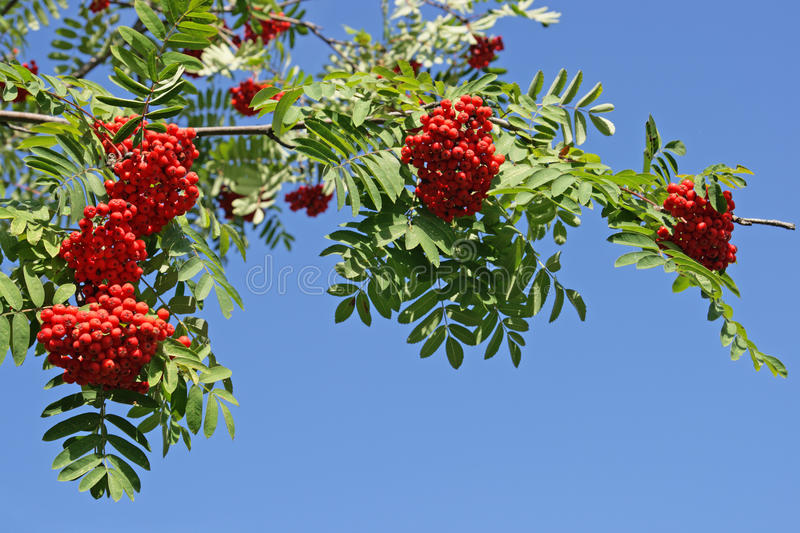 Mountain ash. Branch of a mountain ash with red berries against the blue sky royalty free stock image