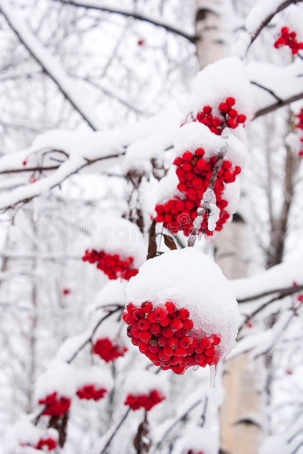 Mountain ash. The mountain ash covered with snow stock photo