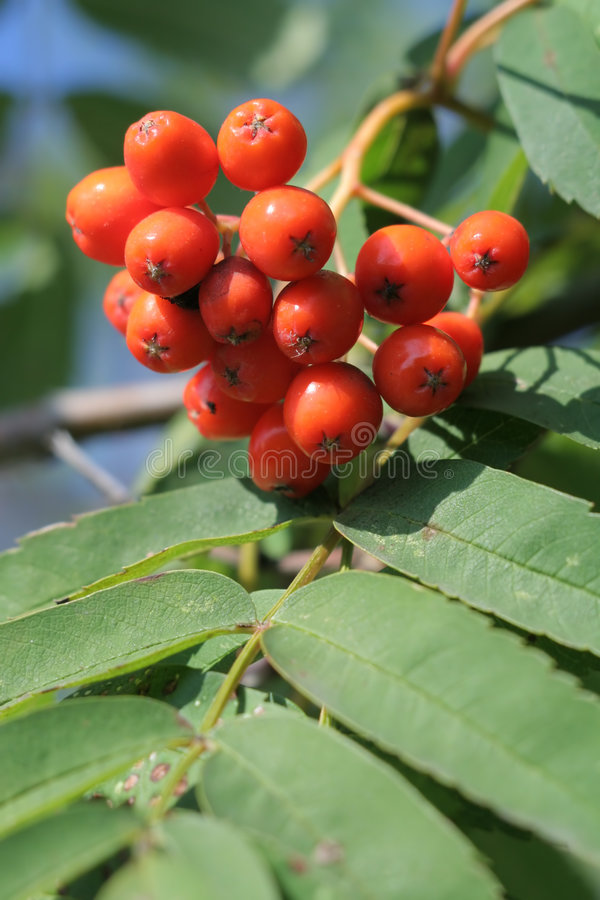Mountain ash. Red mountain ash berryes on the tree royalty free stock photography