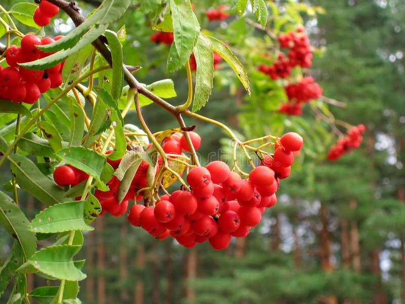 Mountain ash. Red mountain ash in forest stock photo