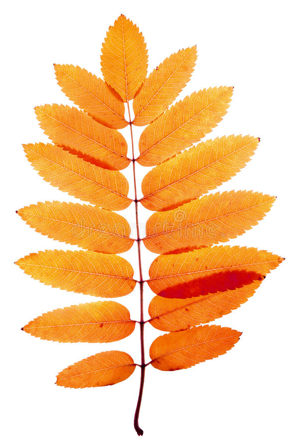 Mountain ash. Orange leaves mountain ash with stains isolated on a white royalty free stock photos