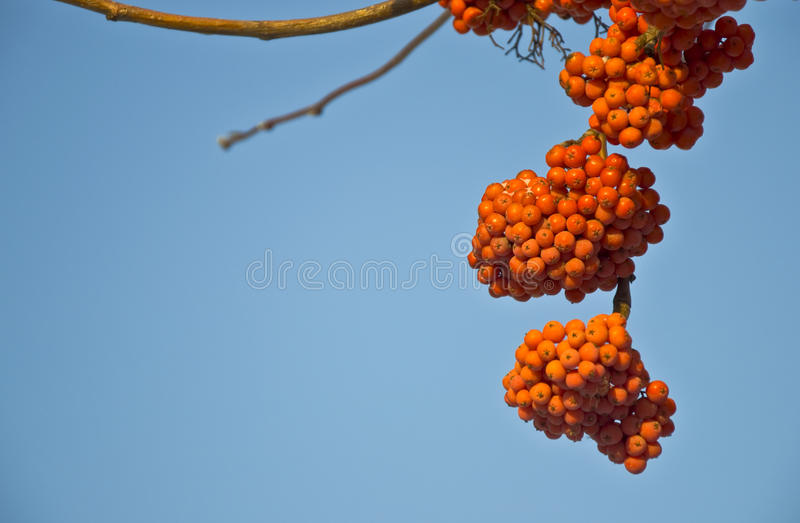 Mountain ash. Bunches of ripe mountain ash in the city park. Autumn. Against the blue sky royalty free stock images
