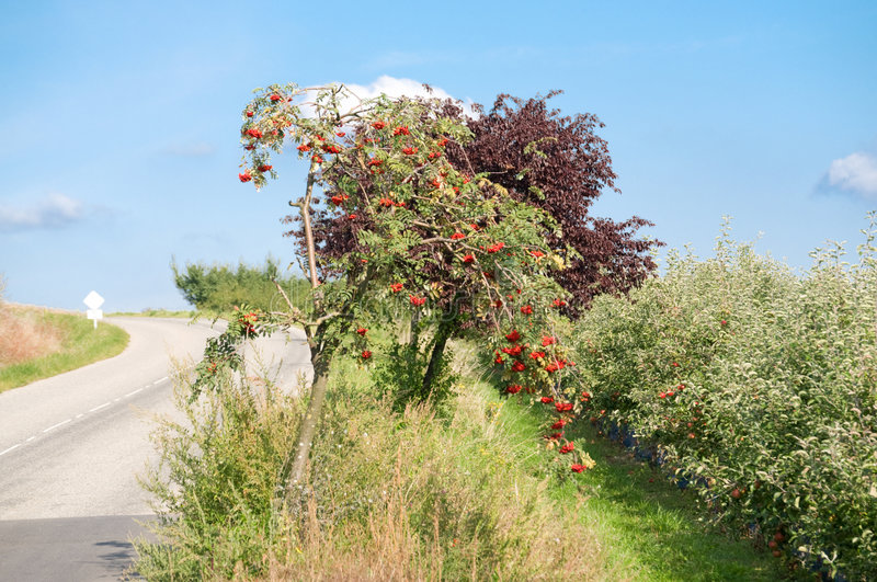 Mountain ash. By village road stock photography