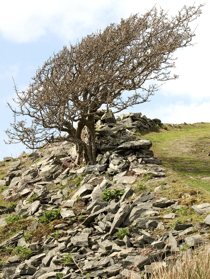 Mountain Ash. Windswept mountain ash tree on hilside in Wales royalty free stock photo