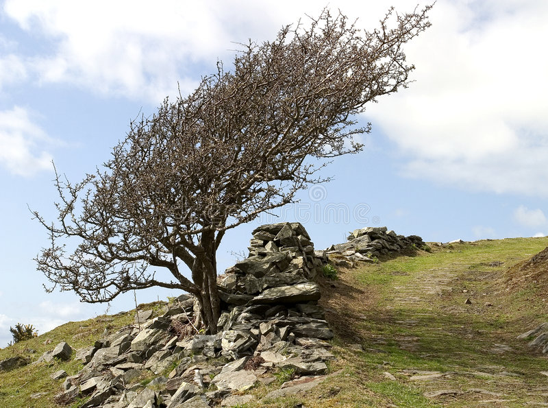 Mountain Ash. On windswept hillside royalty free stock photography