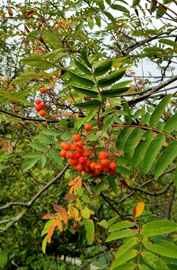 Mountain ash in autumn colours stock images