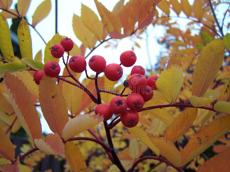 Mountain ash in the autumn. A close-up look, an abstract royalty free stock photo