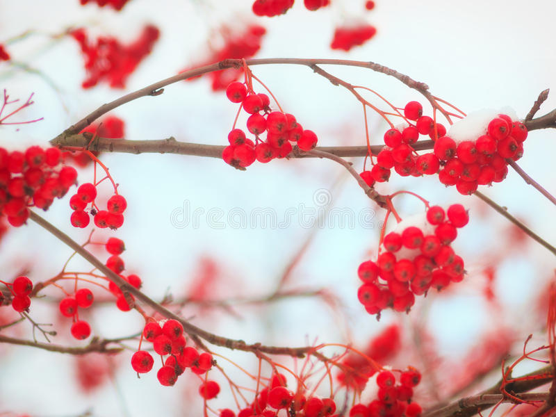 Mountain ash. Background with bright red berries of mountain ash under snow royalty free stock images