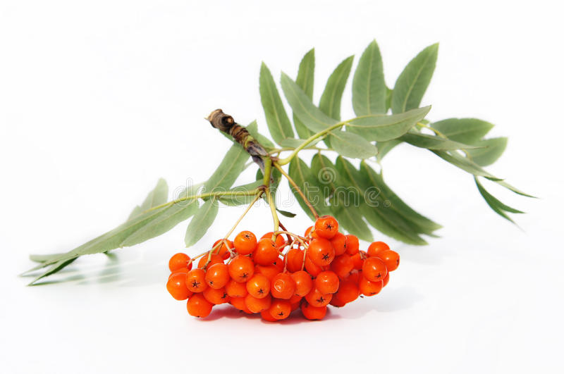 Mountain ash berries. Are isolated on a white background royalty free stock image