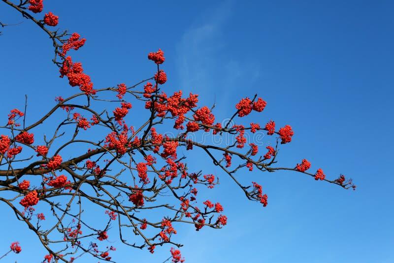 Mountain ash berries royalty free stock photo