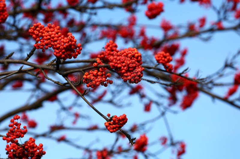 Mountain ash tree. Mountain ash berries on blue sky stock images