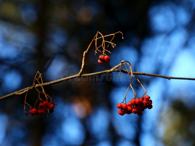 Mountain ash berries. Mountain ash branch with red berries royalty free stock images