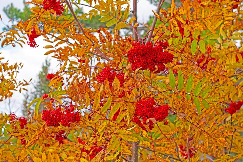 Mountain Ash Berries in the Fall stock photo