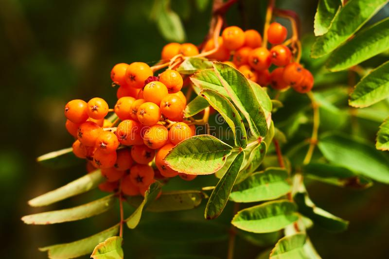 Mountain ash berries and leafs. Close up royalty free stock image