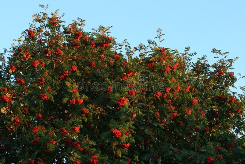 Mountain ash berries stock photo