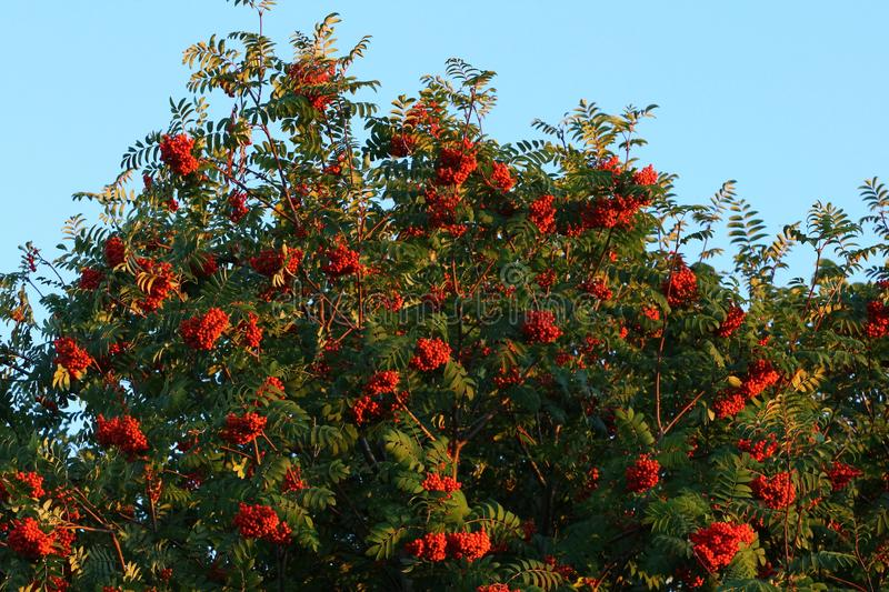 Mountain ash berries royalty free stock image