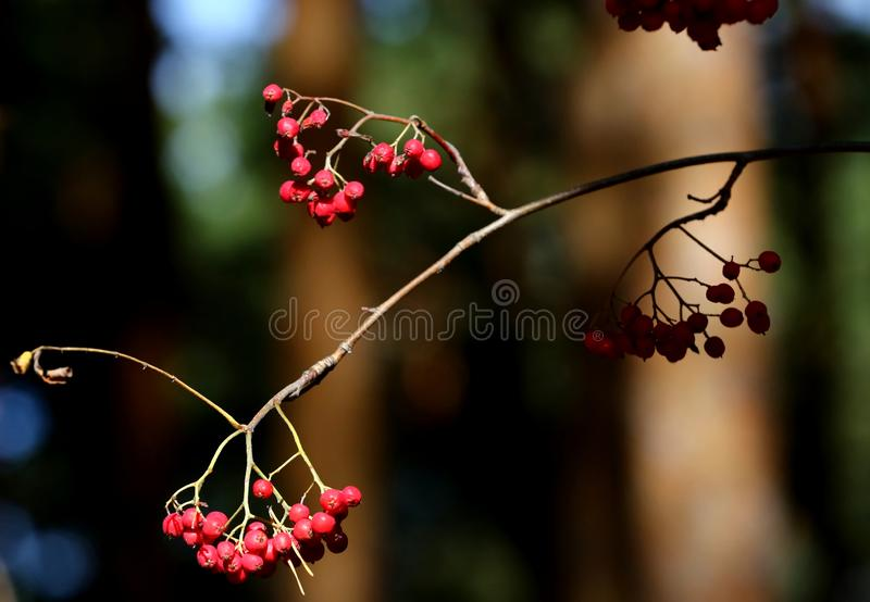 Mountain ash berries. Mountain ash branch with red berries stock image