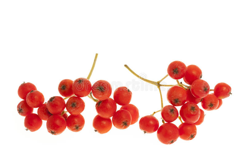 Mountain ash berry closeup. Closeup of red mountain ash or rowan berries isolated on white background stock photo