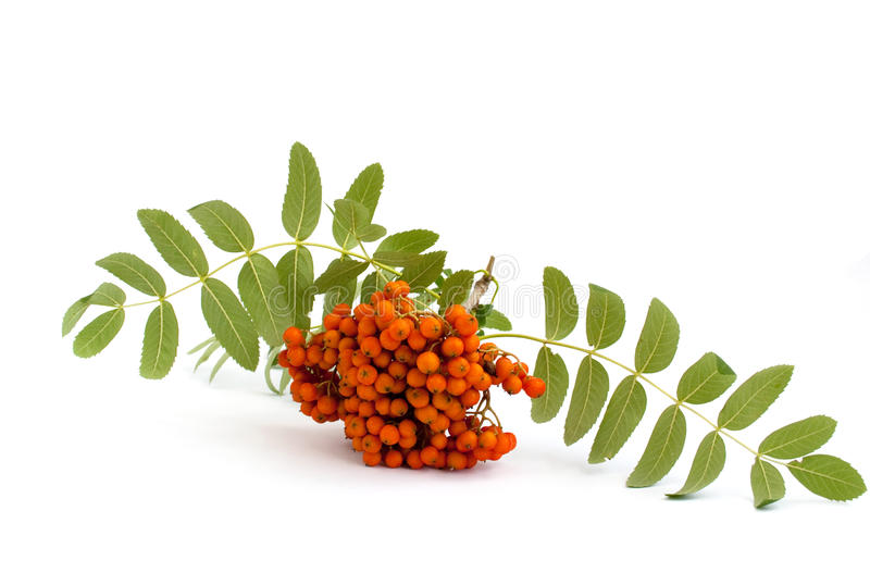 Mountain Ash branch. On a white background stock image
